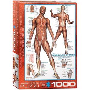 Puzzle El sistema muscular